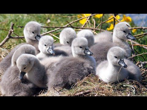 Mute Swan Cygnets at nest 4K #Video