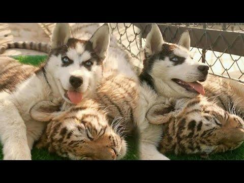 Tiger Cub and Husky Pup Best Buddies Video