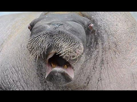 Walrus With The Most Beautiful Voice. Your Daily Dose Of Internet