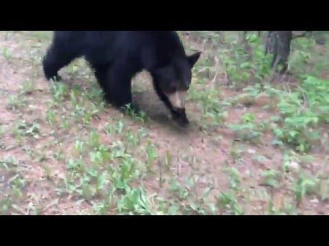 STRONG LANGUAGE! Intense Black Bear Encounter!