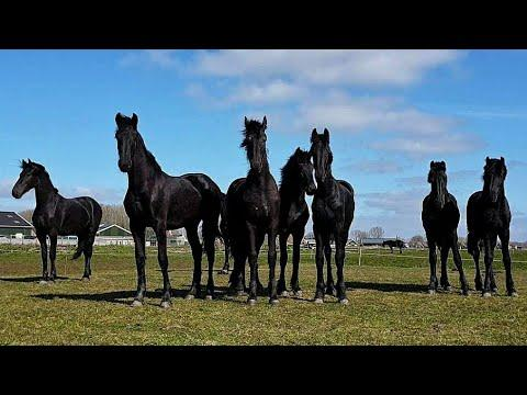 Gea in the clouds and who is who video? Friesian Horses