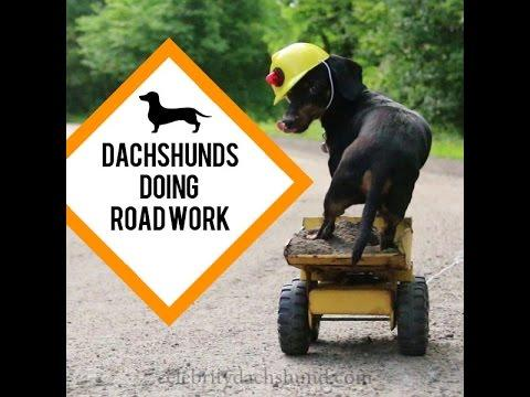 Funny Dachshunds Doing Road Work
