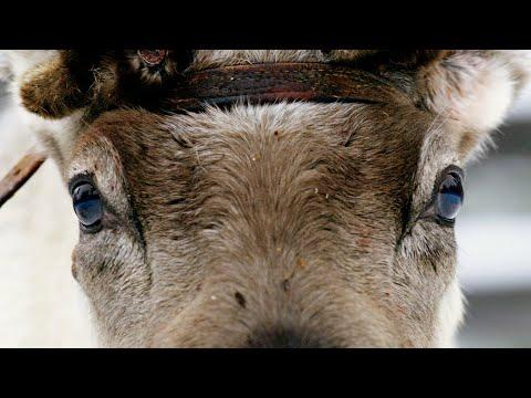 How Do Reindeer Survive Freezing Temperatures? | Reindeer Family and Me | BBC Earth