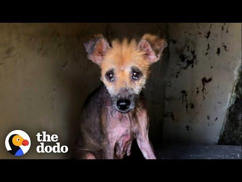 Abandoned Naked Dog Is So Fluffy Now #Video