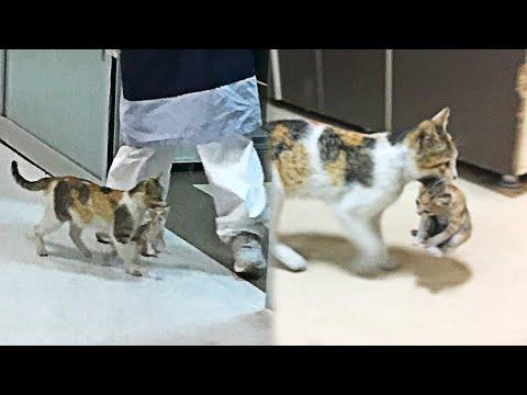 Stray Mom Cat Brings Her Sick Kitten To The Hospital Video