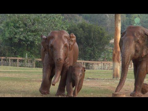 Cute Baby Elephant Wan Mai Learned To Be A Wild - ElephantNews