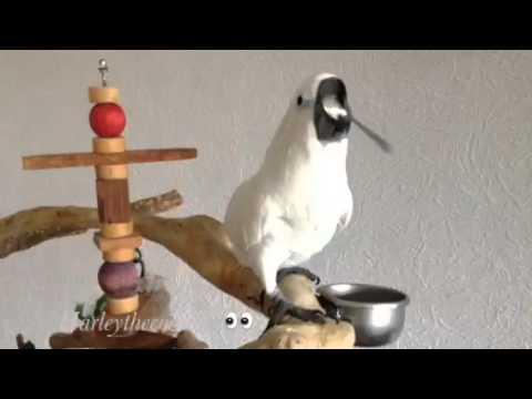 Harley The Cockatoo Drinking With A Spoon
