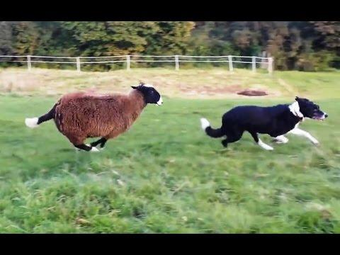Sheep Who Think They're Dogs Compilation