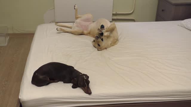 Dachshund pretends to be asleep, then steals dog toy