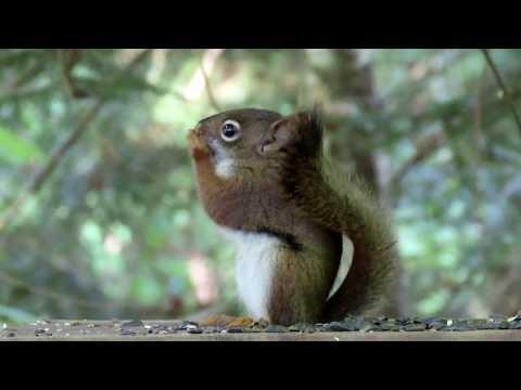 Red Squirrel Kitten in 4K