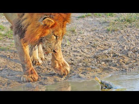 Turtle Chases Lions From His Waterhole #Video