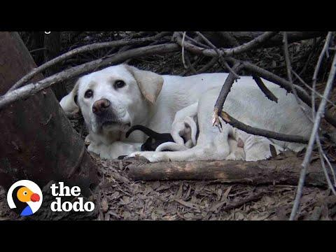 Stray Labrador Won't Let Rescuers Near Her Puppies #Video
