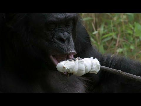 Chimp Builds Fire And Roasts Marshmallows - REALLY!