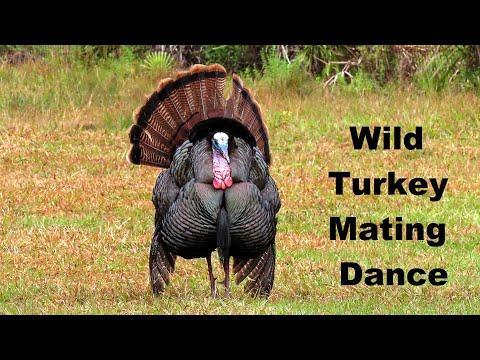 Wild Turkey Mating Ritual Dance