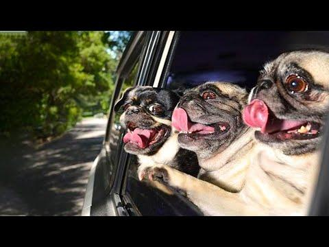 AWW SOO Cute and Funny Pug Puppies Video - Funniest Pug Ever #4