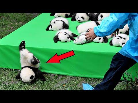 They Tried to Make 11 Pandas Sit Still! Look What Came Out of It