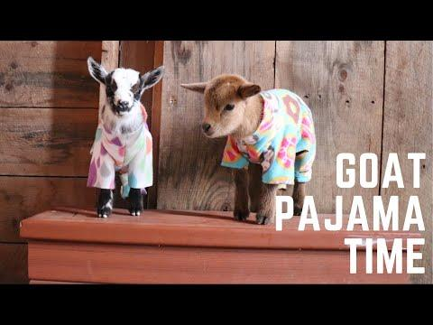 Goat Pajama Time at Sunflower Farm!