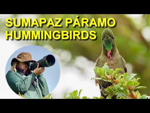 High-altitude Hummingbirds of the Sumapaz Páramo, Colombia #Video