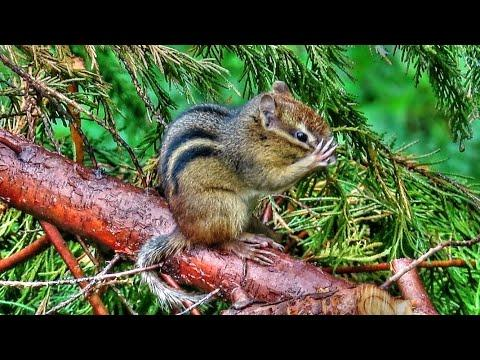 Chipmunk Bath Video