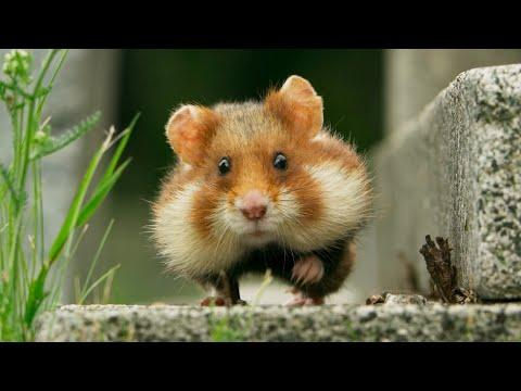Greedy wild hamster gets a little bit stuck! | Seven Worlds, One Planet | BBC Earth