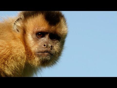 Capuchin Monkey Flirting - Animals In Love