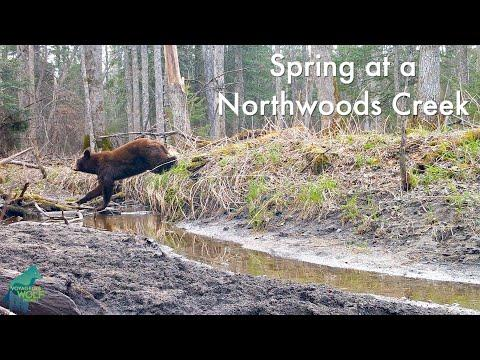 Trail Cams at a Northwoods Creek #Video