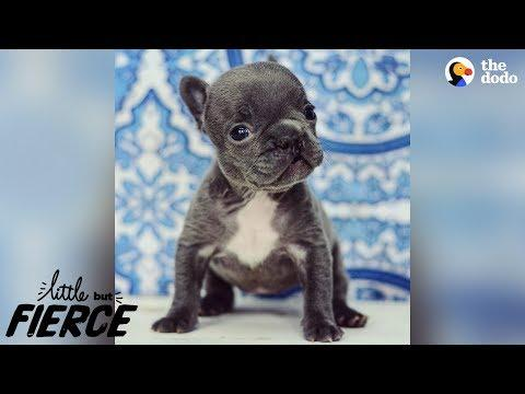 Teeny Tiny 'Imperfect' Puppy Is 100% Perfection