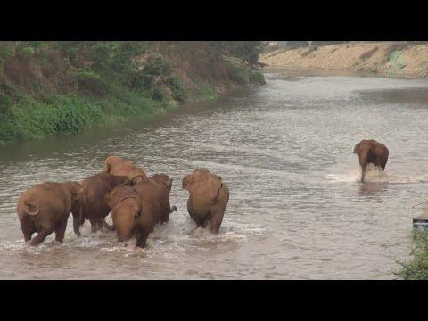 Incredible Moment Elephants Called And Run To Greet Friend #Video