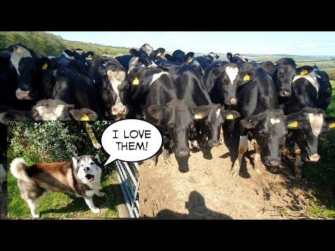 See what happens when a Malamute meets a herd of Cows. Video.