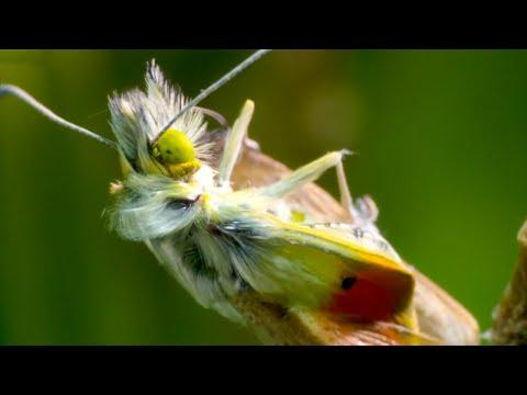 Heath Fritillary Butterfly Hatching | BBC Earth