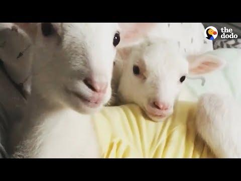 Rescued Lambs Dance Together When They're Happy