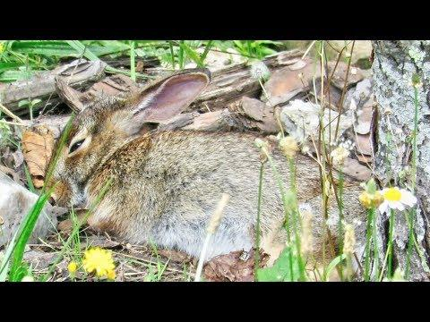 Cottontail Rabbit Nap