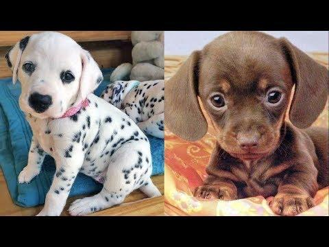 Funny Baby Puppies - Cute Dog Videos - Funny Puppy Dogs Video - Funny Baby Videos