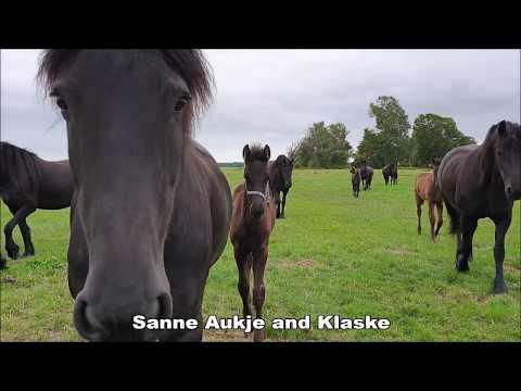 Time to check the Friesian horses, if they want to..
