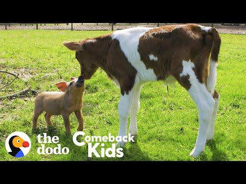 Tiny Piglet's Video - Their Whole World Changes When She Meets This Baby Cow
