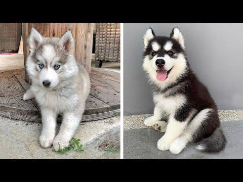 Funny And SOO Cute Husky Puppies Compilation #15 - Cutest Husky Puppy #Video