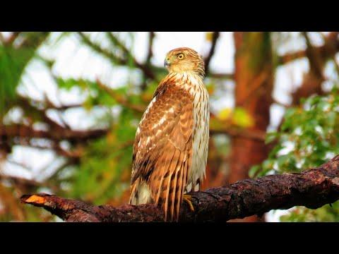 Coopers Hawk Calling and Causing a Forest Commotion