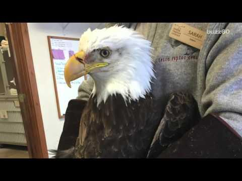Rescued Bald Eagle Turns Out To Be Second Oldest In North America