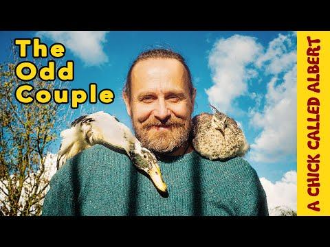 One in a Million Duck and his Peafowl Friend #Video