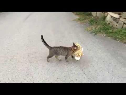 Cat Goes To Neighbors House To Borrow A Tiger Plush Toy