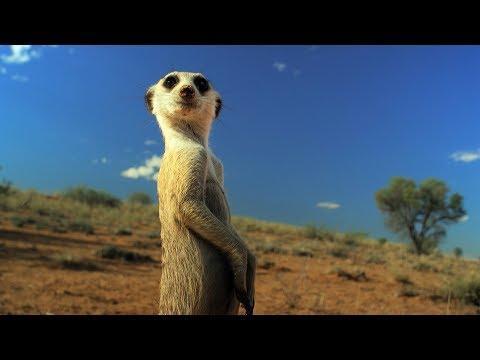 Meerkat Gang vs. Robot Cobra | Spy In The Wild | BBC Earth
