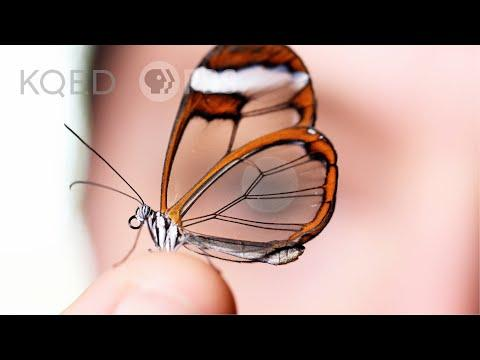 Glasswing Butterflies Want To Make Something Perfectly Clear Video | Deep Look