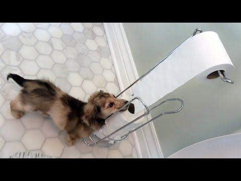 Daphne the Cute Dachshund Puppy LOVES Toilet Paper!