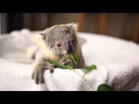 Cutest Koala Compilation Ever