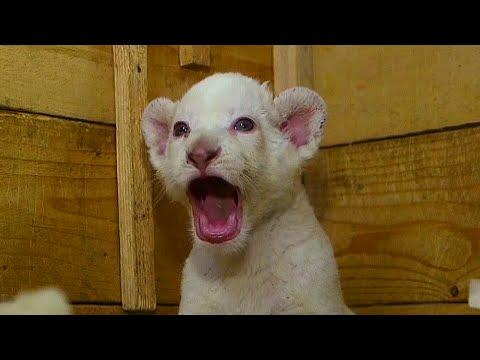 Adorable Three Week Old White Lion Cubs