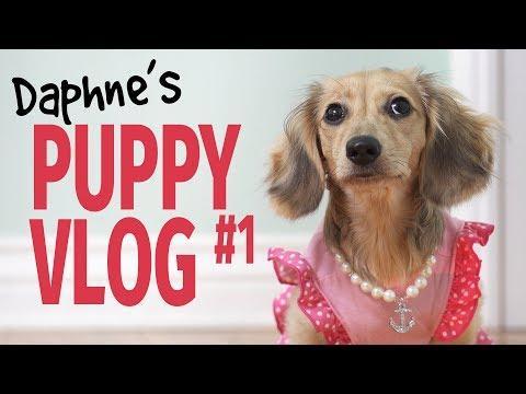 Ep #7: it's a Daphne Day! - Cute Dachshund Puppy Vlog