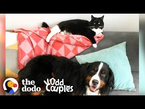 Tuxedo Cat Grows Up with a Bernese Mountain Dog | The Dodo Odd Couples