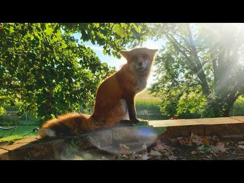 Morning talks with DixieDo fox and HELLO kitties #Video