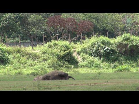 Relaxing Elephant Caught On Video.
