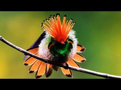 10 Most Beautiful Hummingbirds In The World Video
